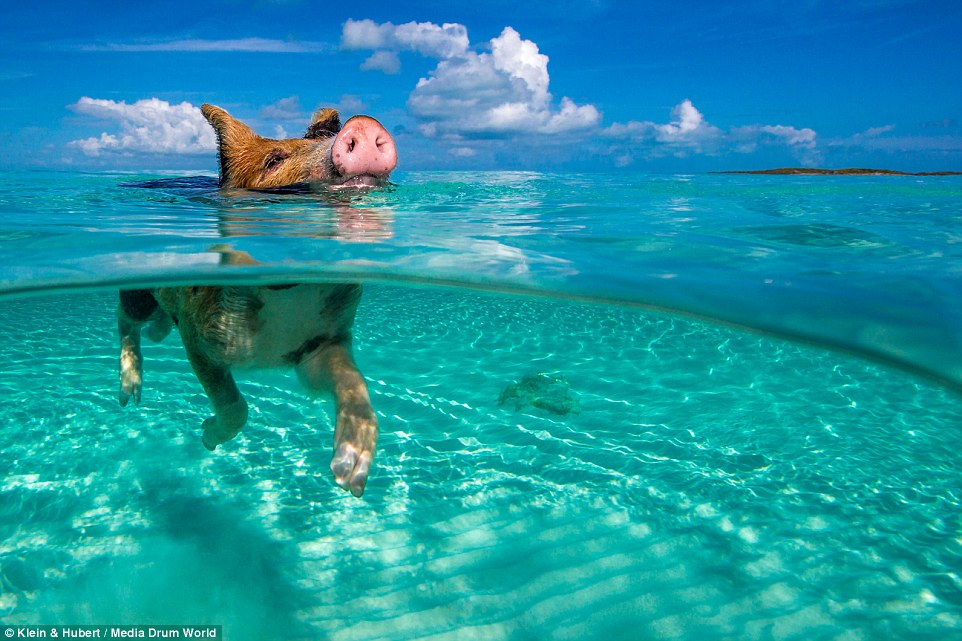 Bahamas water pigs